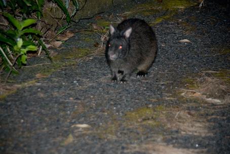 アマミノクロウサギの画像 p1_13