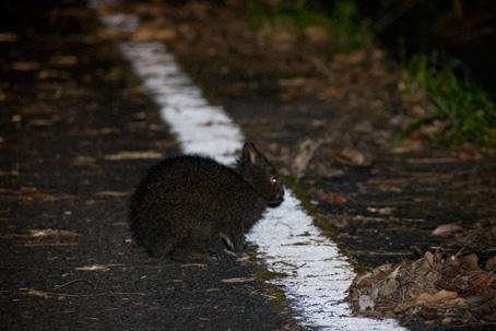 アマミノクロウサギの画像 p1_8